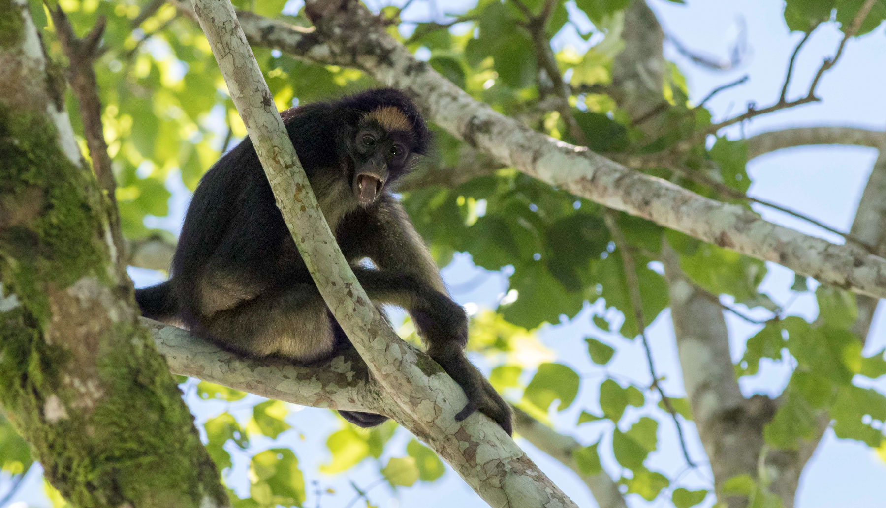 Monkey in a tree in Napo, Tena