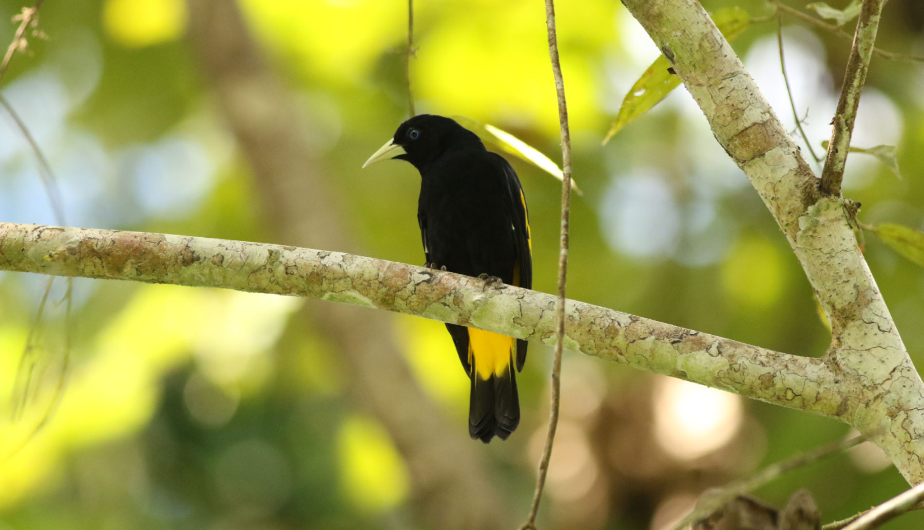 Black bird in a tree in Ecuador